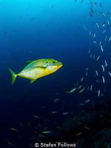 Like a Champagne Super Nova ... Orangespotted Trevally - ... by Stefan Follows