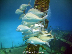 Schooling on wreck by Dave Difiore