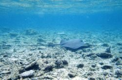 Check out how long the tail on this sting ray is, this pi... by Chris Lawford