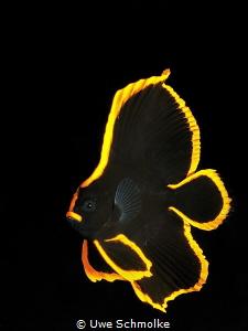 Golden - juv. batfish by Uwe Schmolke