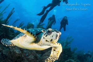 Turtle with divers, San Pedro Belize by Alejandro Topete