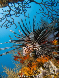 Lionfish at the shipwreck by Beate Seiler