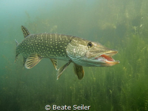 Say hello , northern pike by Beate Seiler