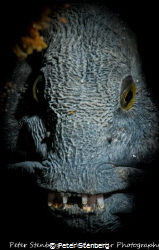 Portrait of a Wolffish. Photographed in Saltstraumen, Bod... by Peter Stenberg