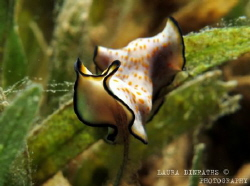 Unidentified flatworm on seagrass leaf tip by Laura Dinraths