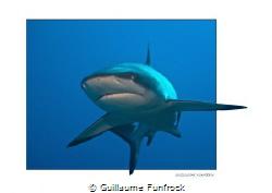 gray reef shark by Guillaume Funfrock