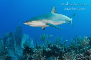 Great Reef Shark, San Pedro Belize by Alejandro Topete