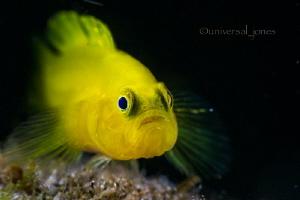 Yellow Goby  by Wayne Jones