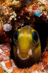 Blenny in its colorful home by Takma Lherminier