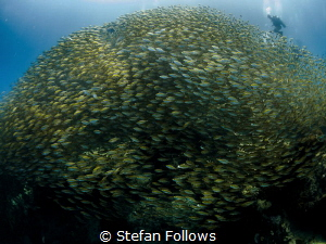 On top of the world ... Oxeye Scad - Selar boops. Sail Ro... by Stefan Follows