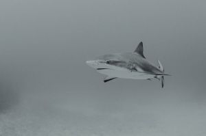 Shark in bw by Dmitry Starostenkov