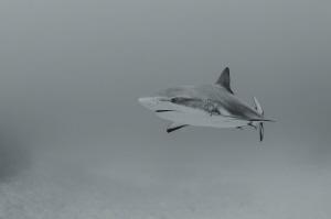 Shark in bw by Dmitry Starostenkov