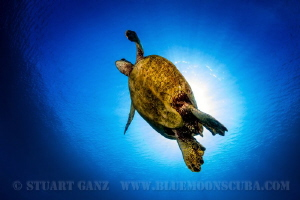 Turtle Sunburst by Stuart Ganz