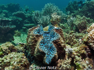 Giant Clam at the Ningaloo Reef by Olivier Notz