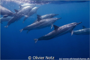 Spinner dolphin (Stenella longirostris) while snorkeling ... by Olivier Notz