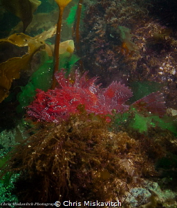 Deep Red Sea Raven in Spring-time....trying to find a spo... by Chris Miskavitch
