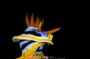 R I G H T . T U R N  Nudibranch (Chromodoris annae) Ani... by Irwin Ang