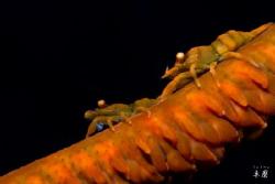 Zanzibar whip coral shrimps by Takma Lherminier