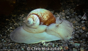 Moon Snail......At full speed! by Chris Miskavitch
