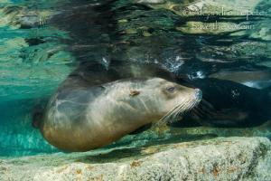 Sea Lion resting, La Paz Mexico by Alejandro Topete