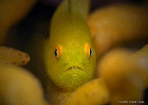 Yellow Hairy Goby, Lembeh by Doug Anderson