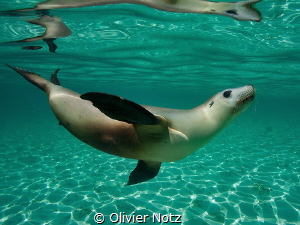 Another picture of a female sea lion taken in West Australia by Olivier Notz