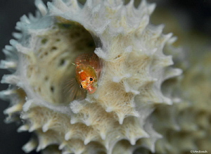 Starksia hassi  Ringed Blenny at 1000 steps. Bonaire NA