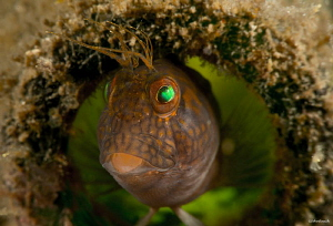 Parablennius marmoreus   Seaweed Blenny at the Blue Heron... by John Roach