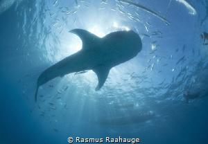 Whaleshark Sun burst - Oslob Philippines by Rasmus Raahauge
