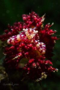 """Porcelain Crab in Rose Garden"" Stacked +10 and +5 wet d... by Wayne Jones"