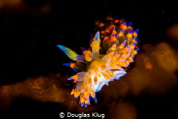 glowing on the kelp A rare Santa Barbara Janulos nudibran... by Douglas Klug