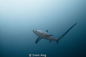 A L O P I I D A E  Thresher shark (Alopiidae) Malapascu... by Irwin Ang