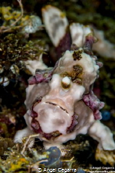 frogfish by Angel Cegarra