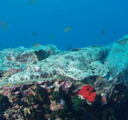 Crocodile fish taken with Olympus C60 and epoque strobe. by Nikki Van Veelen