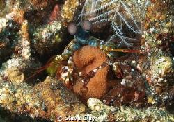 Mantis shrimp with eggs by Steve Clay