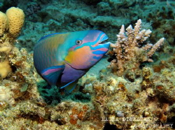 Bullethead parrotfish by Laura Dinraths