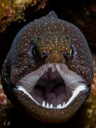 I need a dentist... 3 bugs in a moray eel's mouth - Reuni... by Takma Lherminier