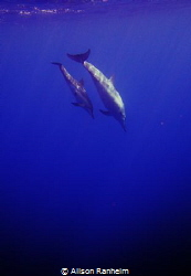 Big Island Hawaii, baby & mama dolphin by Alison Ranheim