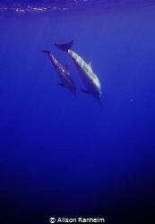 Big Island Hawaii, baby & mama dolphin by Alison Ranheim