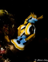 Chromodoris Annae by Steve Clay