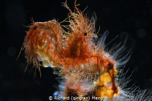 Hairy shrimp by Richard (qingran) Meng