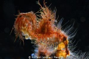 Hairy shrimp by Richard (qingran) Meng