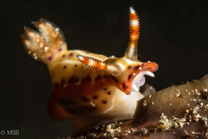 Hypselodoris reidi. The nude vampire. by Mehmet Salih Bilal