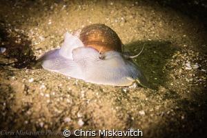 Moon Snail by Chris Miskavitch