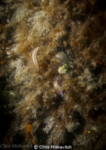 Picture of two Nudibrachs off Massachusetts....I found th... by Chris Miskavitch