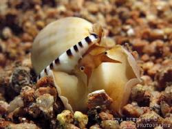 Heavy bonnet helmet shell (mollusk, Casmaria ponderosa) by Laura Dinraths