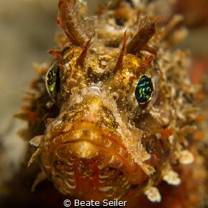 Juvenile scorpionfish by Beate Seiler