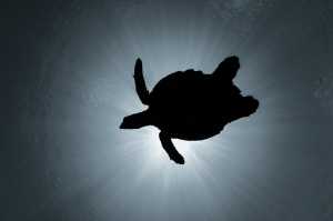 The soaring turtle. Happy World Turtle Day! Let them live! by Dmitry Starostenkov