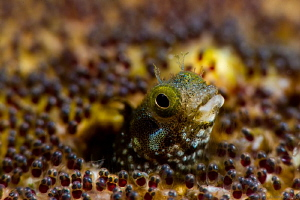 "Acanthemblemaria spinosa Spinyhead Blenny at the ""Front P... by John Roach"