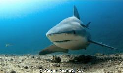 Вull shark (Santa Luchia) by Stepan Reshetnikov